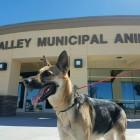UPDATE: German Shepherd Escape Artist Finds a Forever Family
