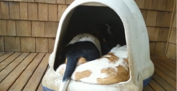 How Many Basset Hounds Can You Fit in a Dog Igloo?