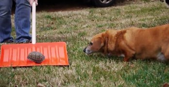 "Corgi Is Incredibly Perplexed by the Concept of ""Turtle"""