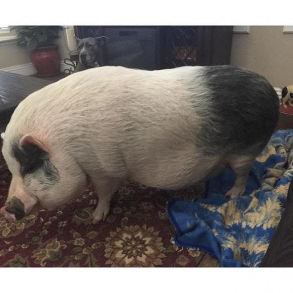 10-10-16-rescue-pig2