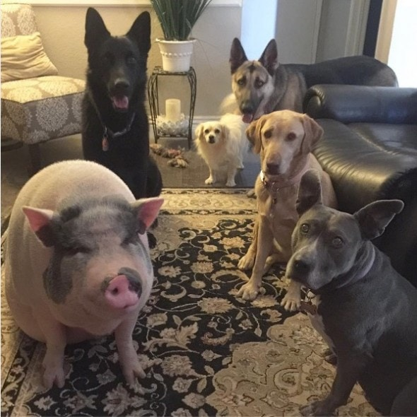 10-10-16-rescue-pig4