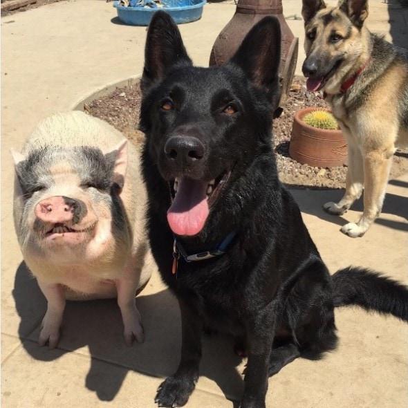 10-10-16-rescue-pig6