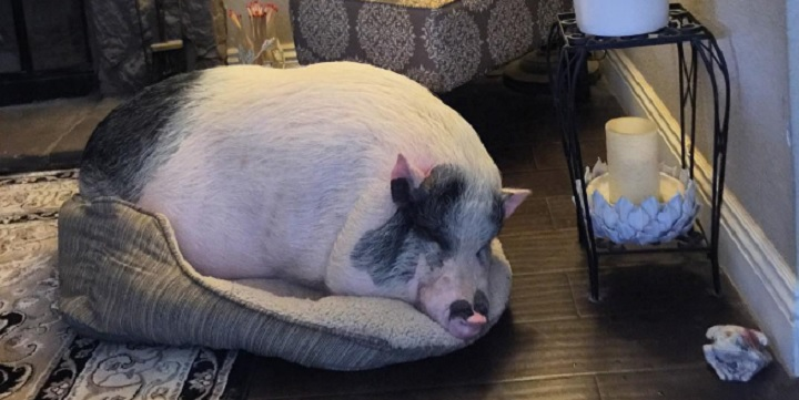 Huge Rescue Pig Decides He'd Much Rather Be a Dog