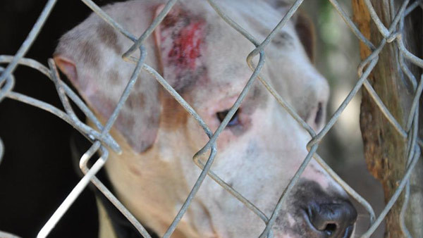 """21 Pit Bulls Kept in """"Deplorable"""" Conditions Rescued from Fighting Ring"""