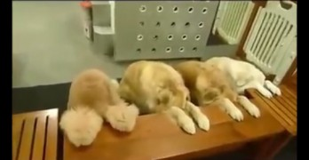 Four VERY WELL Behaved Dogs Say Grace Before Eating Dinner