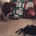 Silly Boxer Tries to Get a Mechanical Toy Spider to Play