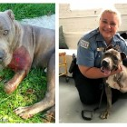 UPDATE:  Dog Whose Leg Was Shattered by a Bullet Reunited With Officer Who Saved His Life