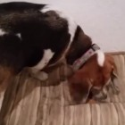 Beagle Tries to Hide Her Bone in Sibling's Dog Bed