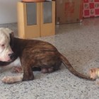Tiny Chihuahua Pup Thinks He's a Great Big Bully-Breed, Too!