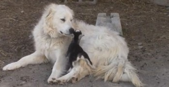 Betty the Pyrenean Mountain Dog Befriends Orphaned Baby Goats