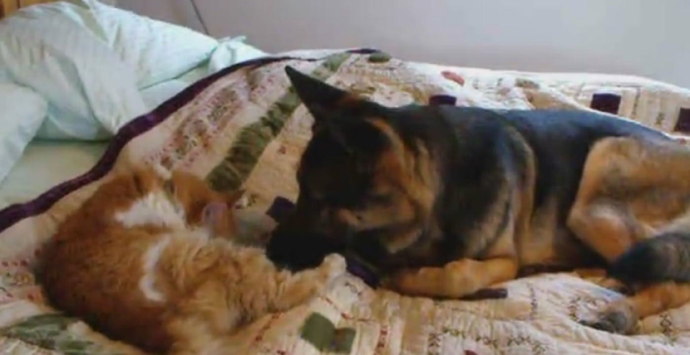 Cat Who Was Missing Is Reunited With German Shepherd Best Friend