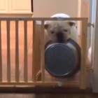 Bulldog Figures Out How to Get His Bowl Through the Gate
