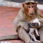 Rhesus Monkey Adopts Orphaned Street Puppy, and It's Just the Cutest Thing