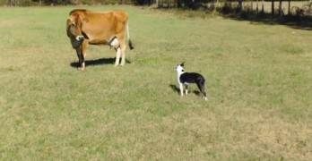 That Magic Moment When a Dog Meets a Dairy Cow?