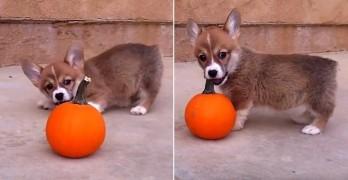 Dogs vs. Pumpkins: Killers or Cowards?