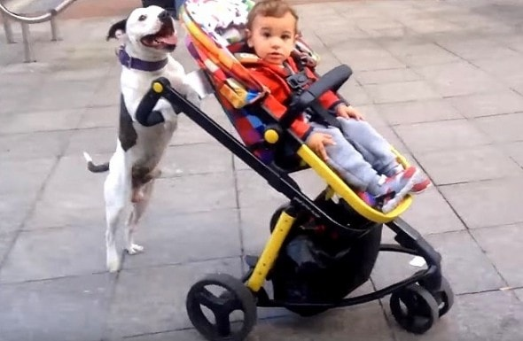 10-3-16-staffy-pushes-stroller0