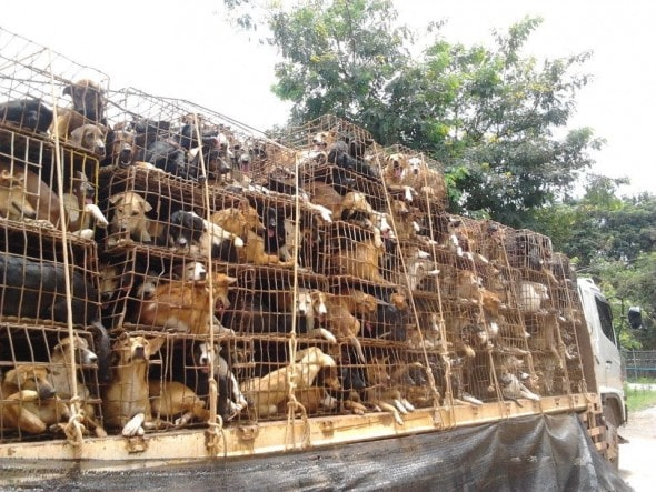 thailand-meat-trade-dogs-on-trucks