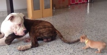 Size Doesn't Matter: Tiny Chihuahua Pup Meets Gentle Giant AmBull