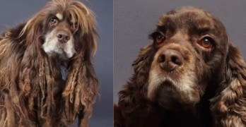 Puppy Mill Cocker Spaniel Rescue is Undergoes Remarkable Transformation