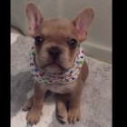 Vocal Frenchie Puppy Professes His Love