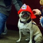 "Idaho Pug Saves Family from Fire; Wins ""Hometown Hero Award"""