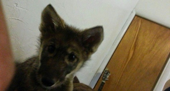 Neo was nervous and skittish, even as a pup. But boy was he ever cute! f you're not sure if a dog is a wolf dog, look for physical traits like fur covering the inside of the ears and entire belly area, black claws, and diamond-shaped scent glands on the tail.