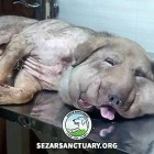 Strangled Dog Rescued from the Streets of Iran Given a Name That Means Courageous