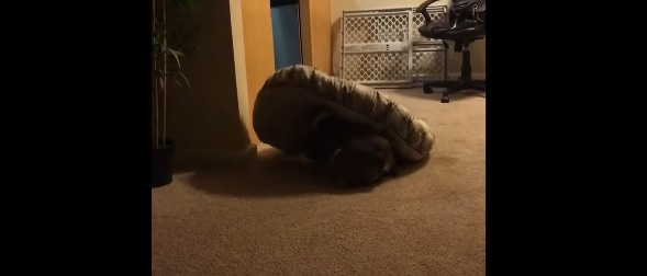 English Bulldog Gets into a Fight With His Bed