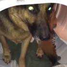"""Big, Brave Dog"" Tries to Hide in the Dryer to Avoid Taking a Bath"