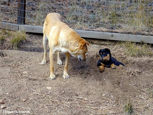 11-18-16-a-real-dogs-purpose-chipper5