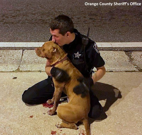 11-2-16-police-officer-snuggles-with-injured-pit-bulls1