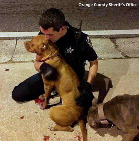 11-2-16-police-officer-snuggles-with-injured-pit-bulls3
