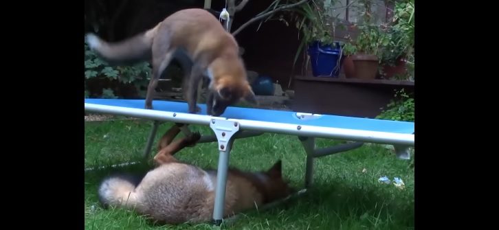 Foxes Like to Stop in This Backyard, and Pounce on the Lawn Chairs