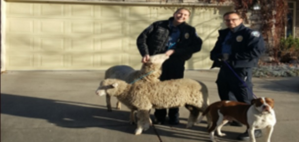 Police Rein In Two Runaway Sheep and Their Canine Friend