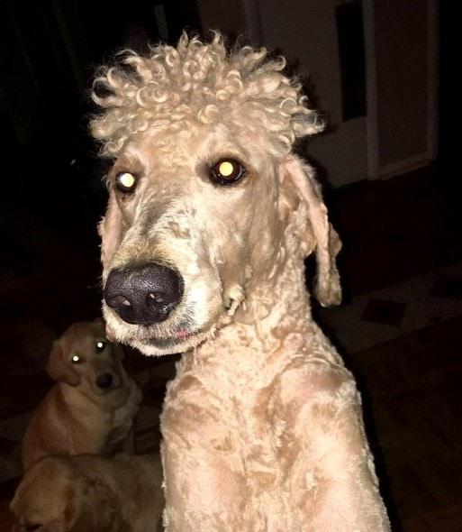11-22-16-mom-ruins-dog-with-beyonce-perm-haircut1