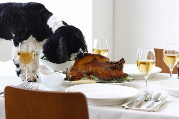 Toronto, Ontario, Canada --- Cocker Spaniel Eating Turkey on Table --- Image by © Radius Images/Corbis