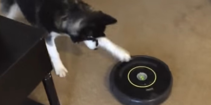 Siberian Husky Tries to Get a Roomba to Join in Playtime