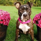 """It Was """"Love at First Sight"""" for a Family Who Saved a Death Row Pit Bull"""