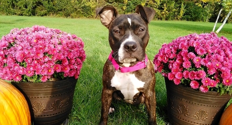 "It Was ""Love at First Sight"" for a Family Who Saved a Death Row Pit Bull"