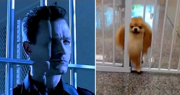 11-3-16-pomeranians-are-just-t-1000s2
