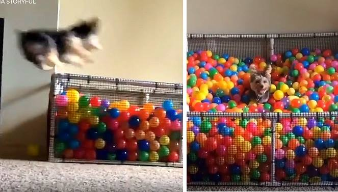 Dog Goes Completely BONKERS for Ball Pits!