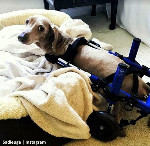 11-8-16-paraplegic-senior-dog-adopts-his-familys-baby-teaches-him-to-crawl2