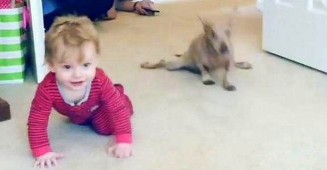 Paraplegic Senior Dog Adopts His Family's New Baby & Teaches Him How to Crawl