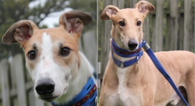 Greyhounds Rescued From Racetrack Need Help
