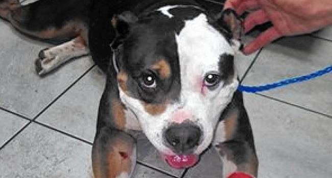 """Dog Shot Three Times During Burglary """"Doing Well"""""""