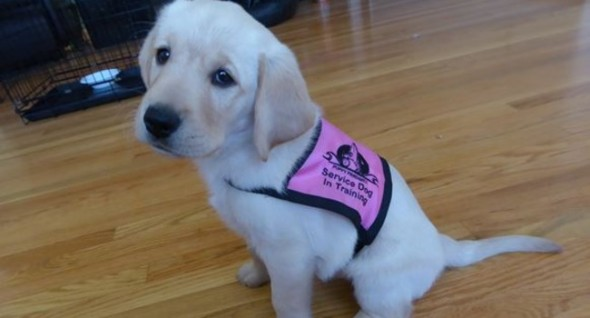 Puppy Prodigies' newest pupil is Cori. She was born on September 16 and is training to become a service dog.
