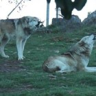 HOWL IT UP! This Wolf Choir is Inspiring, Eerie & Beautiful