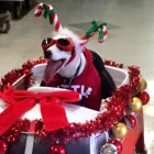 Dashingly Dressed Therapy Dog Is Bringing Holiday Cheer to Bedridden Hospital Patients
