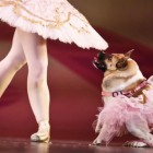 "Pig the Dog Takes Center Stage in Humane Society's Christmas Ballet Called ""The Mutt-Cracker"""