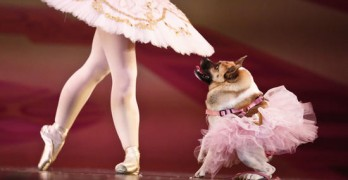 """Pig the Dog Takes Center Stage in Humane Society's Christmas Ballet Called """"The Mutt-Cracker"""""""